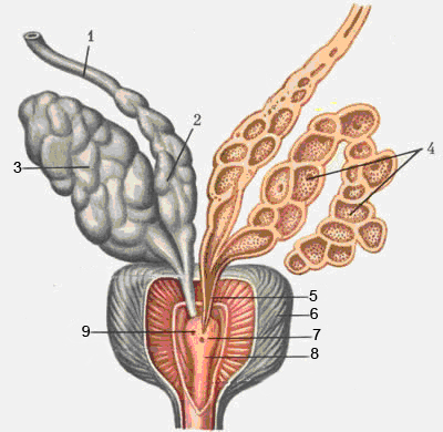 prostata di 40 mm
